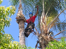 עץ הזית - גיזום וכריתת עצים