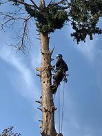 עץ הזית - כריתת עצים.JPG