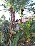 ניקוי דקלים - עץ הזית