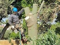 כריתת עצים - עץ הזית