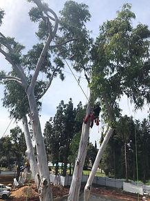תמיכה בכבלים לעץ אקליפטוס