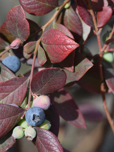 Arándano orgánico madurando en PRANA Fruit