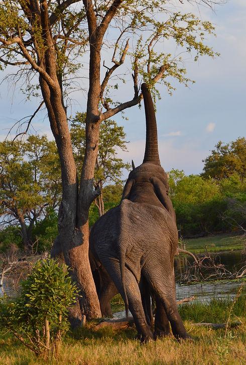 Elefant Afrika Safari