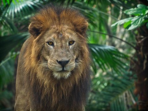 Lion - Association ROAAR