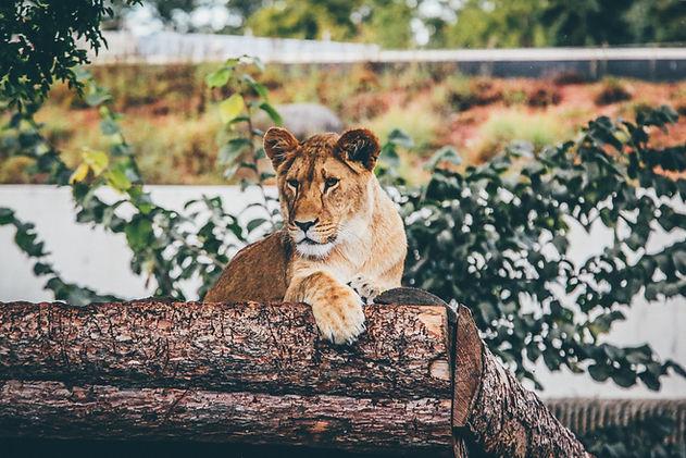 Lionne - Association ROAAR