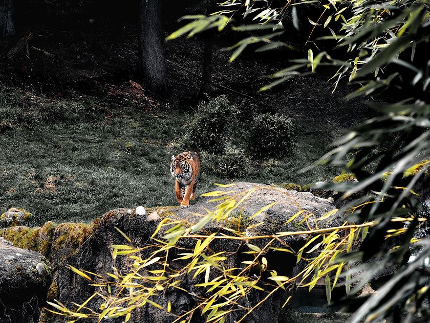 Tigre Roaar