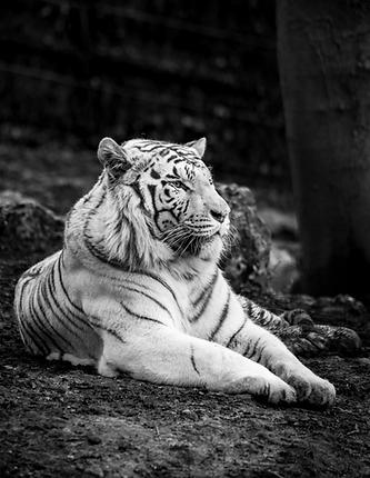 Tigre blanc - Association ROAAR