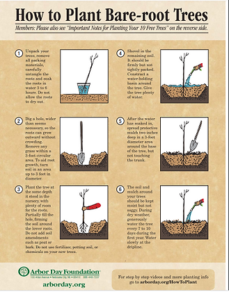 How to plant bare-root trees.png