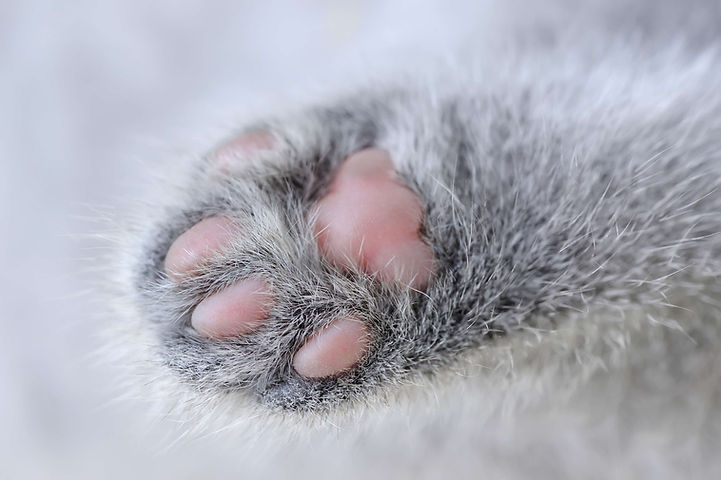 brits korthaar kitten scottish straight cattery la ferme royale