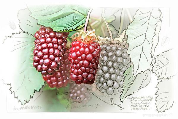 boysenberry lab design printing 3D vancouver branding illustrator SEO signage