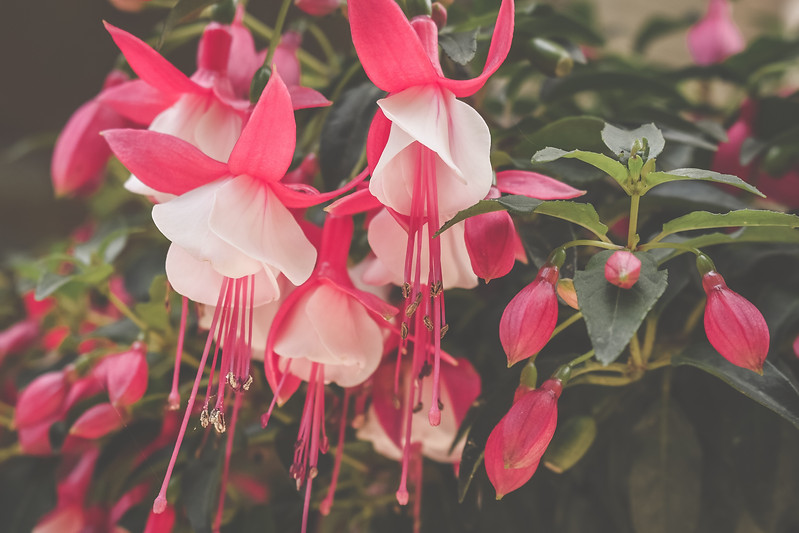Pink Flowers (Cape Cod, MA)