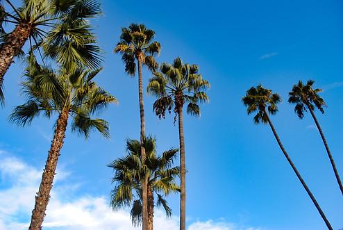 Palm Trees (San Diego, CA)