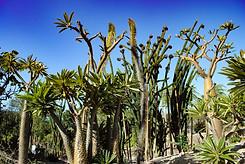 Cacti at The San Diego Zoo (San Diego, CA)