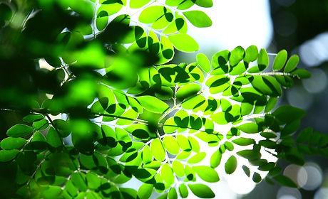 Moringa%20tree%20leaves%20in%20nature%20