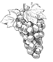 vineyard%20illustrations%20copy_edited.p