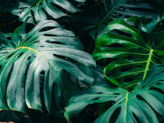 Folhas verdes do Monstera philodendron