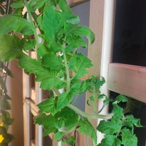 20FEB2021 - Tomato Update