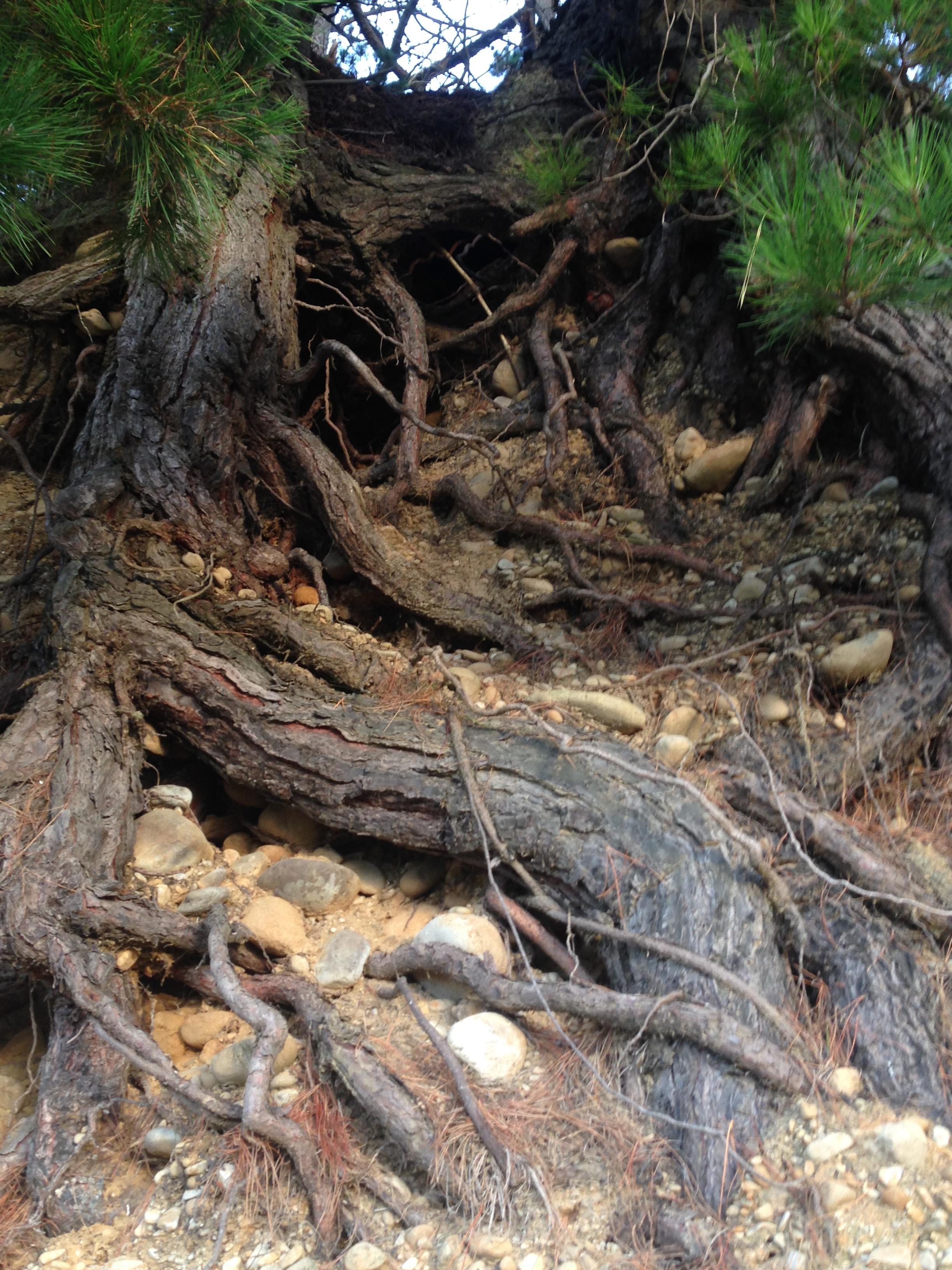 Macarcapa trea roots