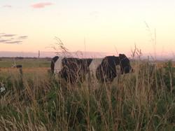 contemplative cow