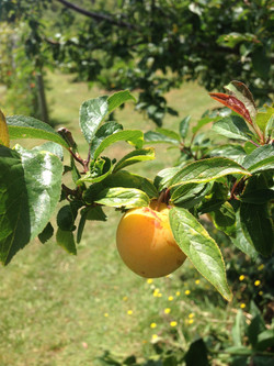fruit grows on trees