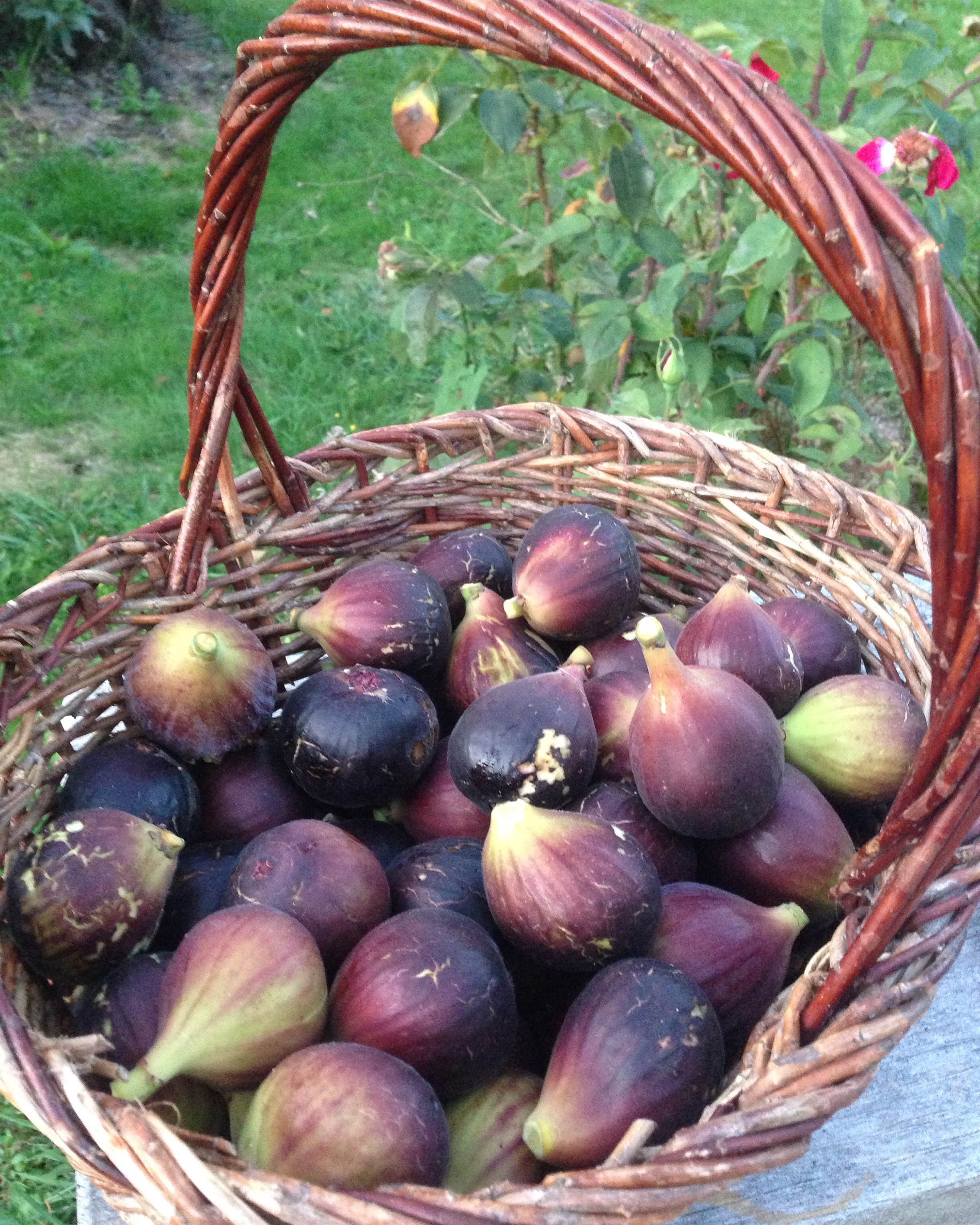 fresh fig harvest