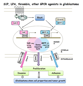 S1P, LPA, thrombin, other GPCR agonists in glioblastoma