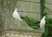 Chateau_coujan__pigeons.jpg