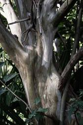 Chateau_coujan__eucalyptus.jpg