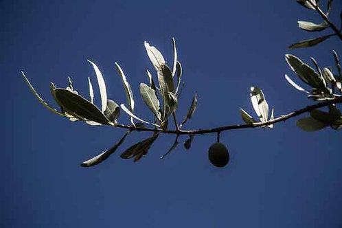 Huile d'olives Bidon 5 L