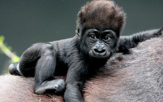 Gorilla-HD-Background.jpeg