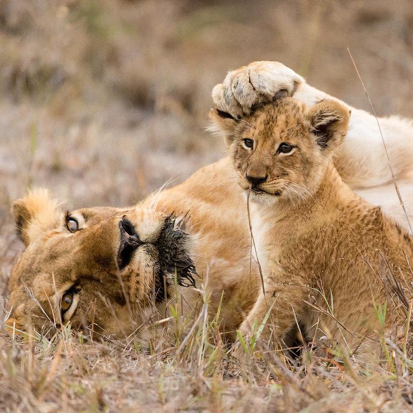 south-africa-lion-cub-1x1_edited.jpg