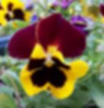 Pansy_Flower.jpg