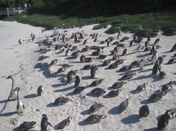 Praia de Pinguins - Cidade do Cabo