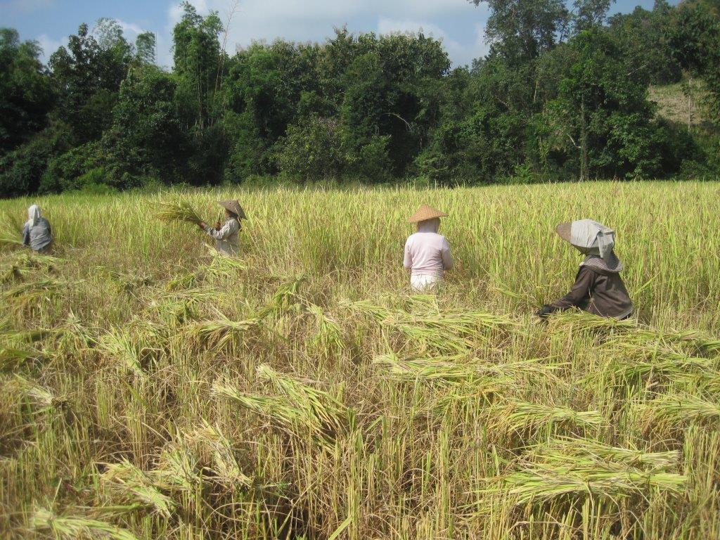 Campo de cultivo de arroz - Laos