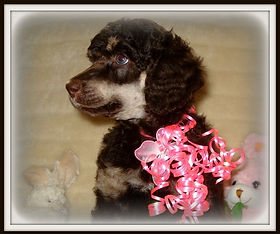 Puppies Sold Gallery Balsamridgepoodles