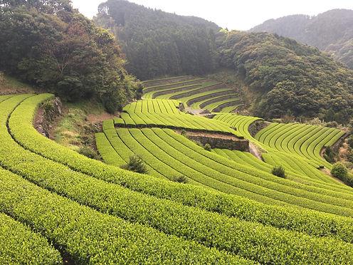 茶畑_4715.jpg