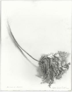 Лист манго из Ашкелона