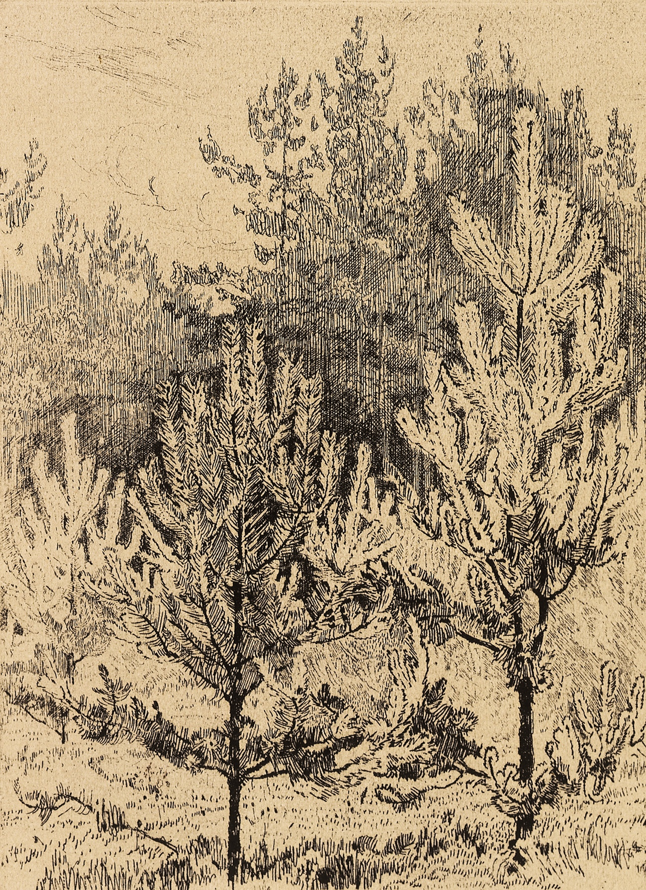 Young Fir Trees