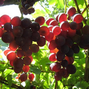 17 лунный день - Виноград
