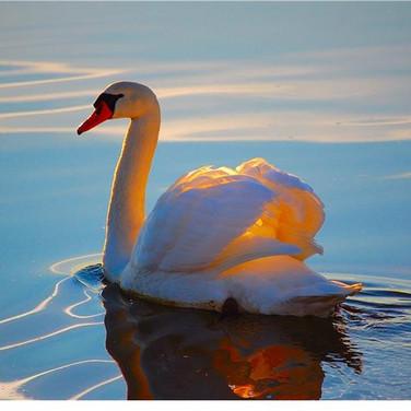 30 лунный день - Золотой лебедь