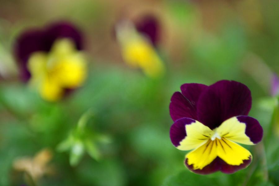 Viole del pensiero viola e giallo