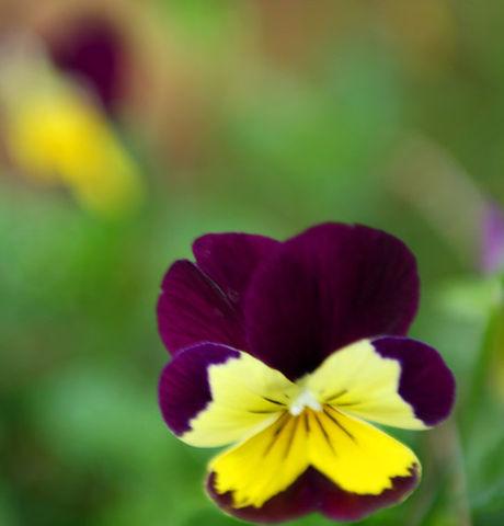 Violet et Jaune Pansies