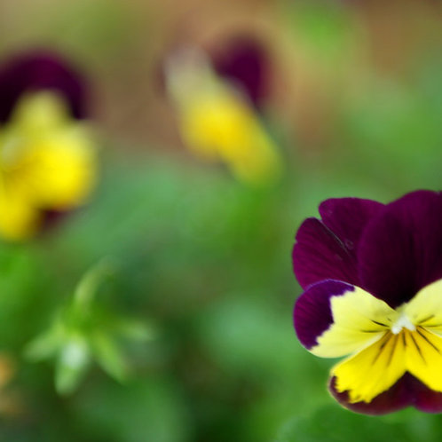 Edible Flowers  - 1 punnet