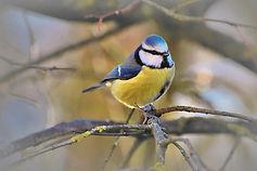 Bird trail blue tit