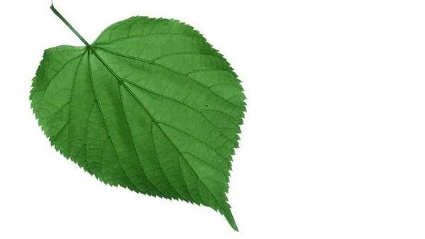 leaf3a.jpg