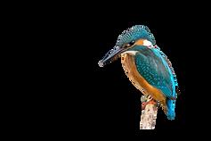 Bird trail kingfisher