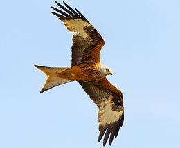 Bird trail red kite
