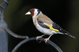 Bird trail goldfinch