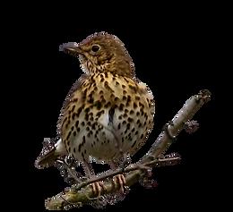 Bird trail thrush