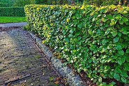 hedge-2903846_640.jpg